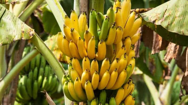 Bananen gesund Baum