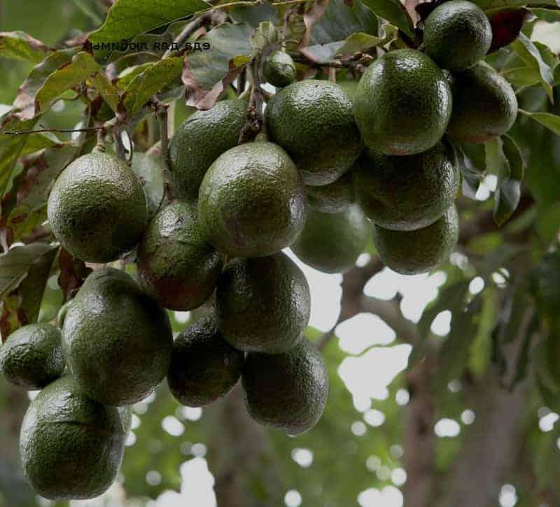 Avocado gesund Baum
