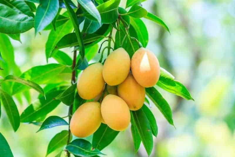 Mango Baum Früchte reif