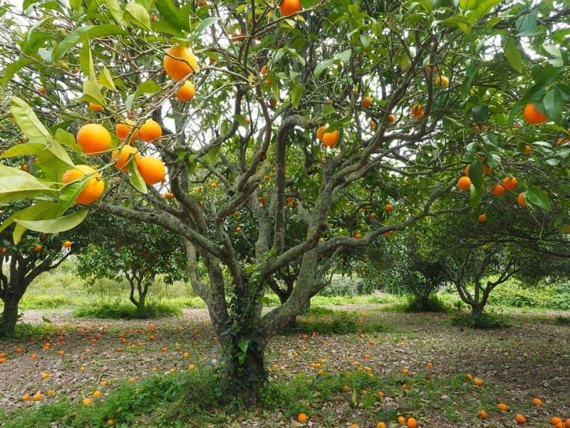 Orangen gesund Früchte Baum