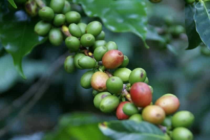 Kaffeefrüchte Pflanze