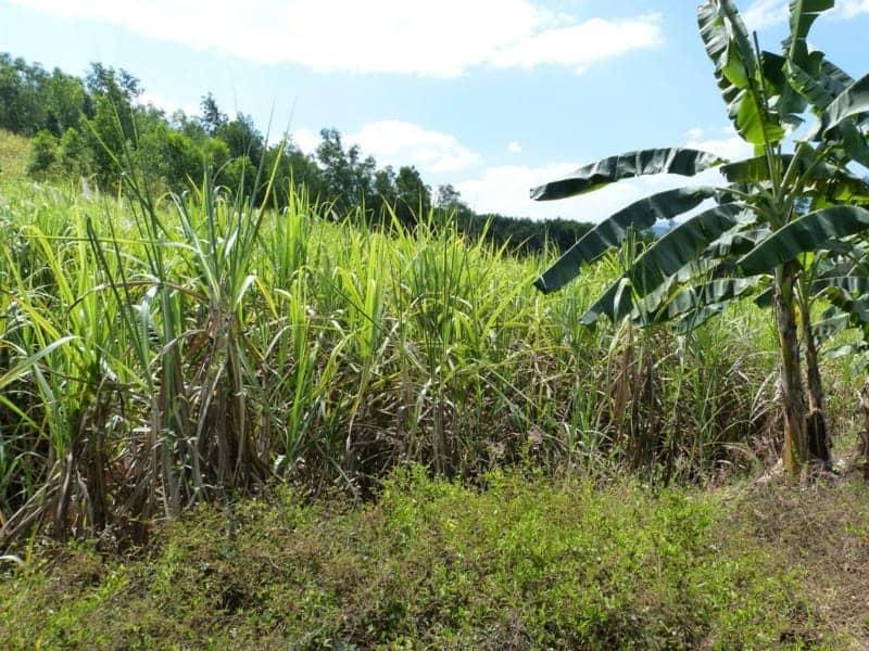 Zuckerrohr Plantage