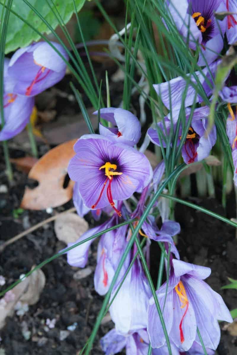 Safran wunderschöne Blüten