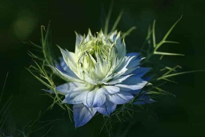 Pflanze blaue Blüten schön